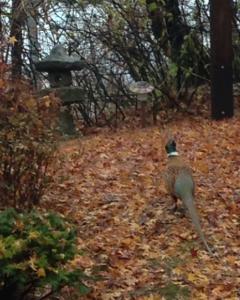 2014-11 pheasant 2